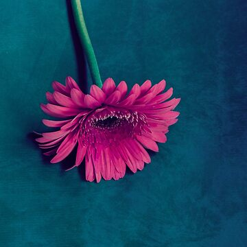 Gerbera for love by VanGalt