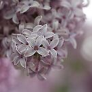 Lilac Blossom by Astrid Ewing Photography