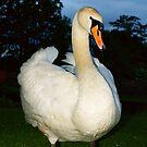 Proud Swan by Andy Beattie