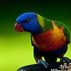 Rainbow Lorikeet by Daniel Spruce