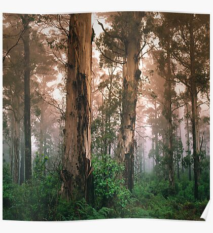 Mountain Grey Gum forest, Mount Macedon. Poster