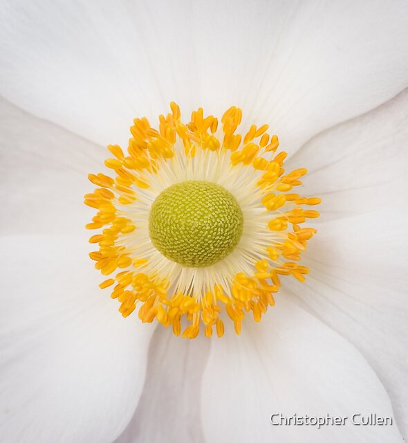 Anenome by Christopher Cullen