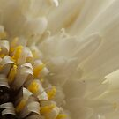 Gerbera in White by KitPhoto