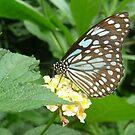 Butterfly 2 by WhiteDiamond