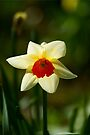Backlit Narcissus by Andy Beattie
