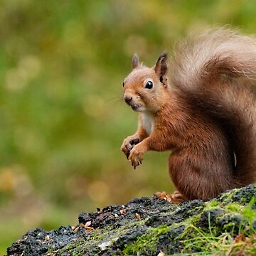 Red Squirrel by teapotore