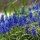 Grape Hyacinth  by FrankieCat