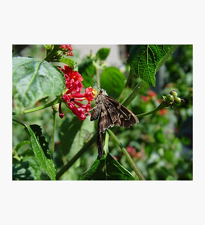 Long-tailed blue skipper Photographic Print