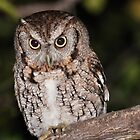 Eastern Screech Owl by Jeff Ore