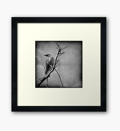 Red Wattlebird Framed Print