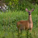 Deer in the camera lens by Roxane Bay