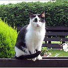 Der Zaunsitter - Katze und Rose von BlueMoonRose