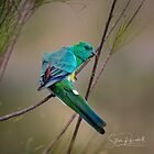 Red Rumped Parrot by Steve Randall