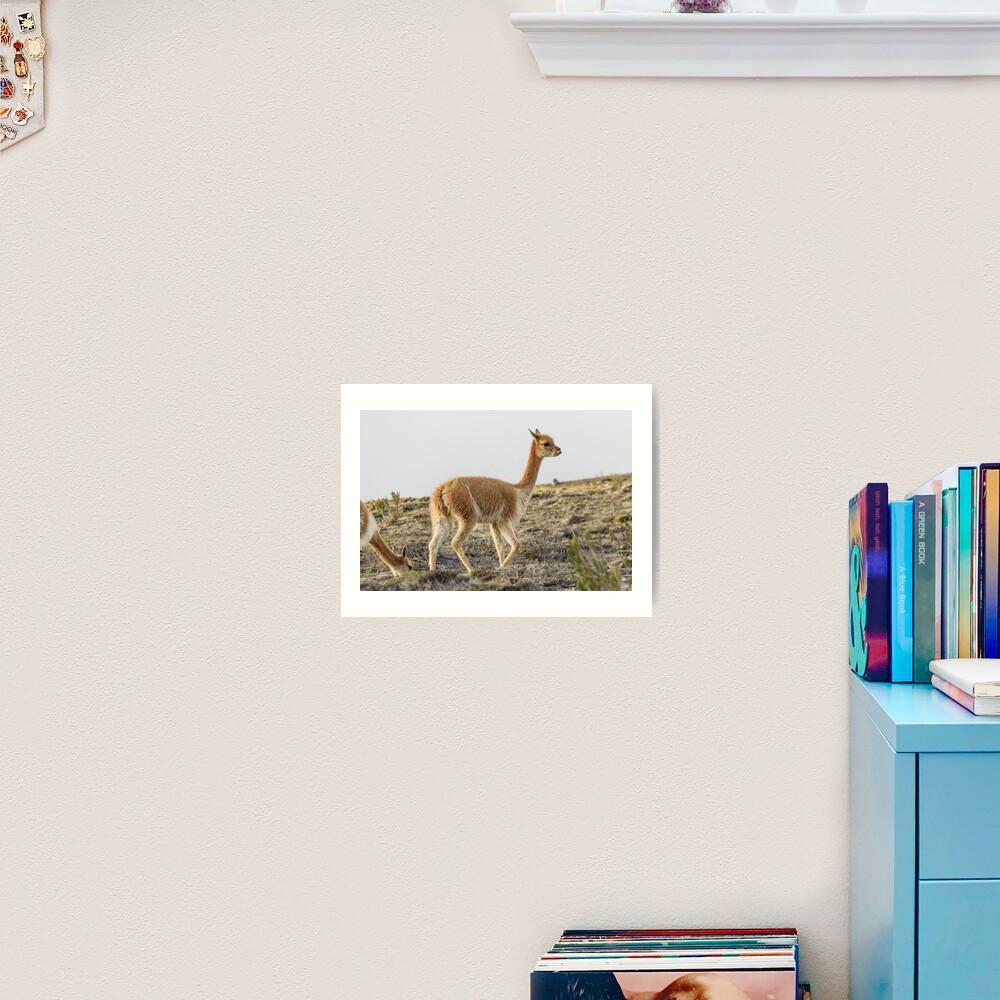 Wild vicuna on mountain hillside Art Print