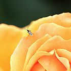 Bug on Rose by John Thurgood