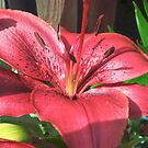 Red Lily Series - 1 by karenkirkham