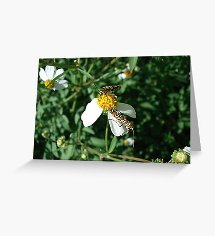 Ailanthus Web Moth Greeting Card