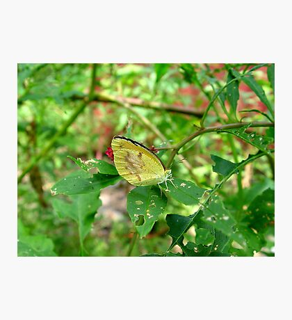 Dogface Butterfly on Pokeweed Photographic Print