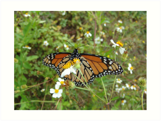 Monarch on Bidens alba by May Lattanzio