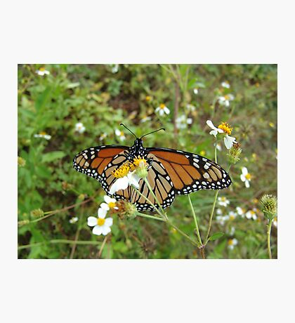 Monarch on Bidens alba Photographic Print