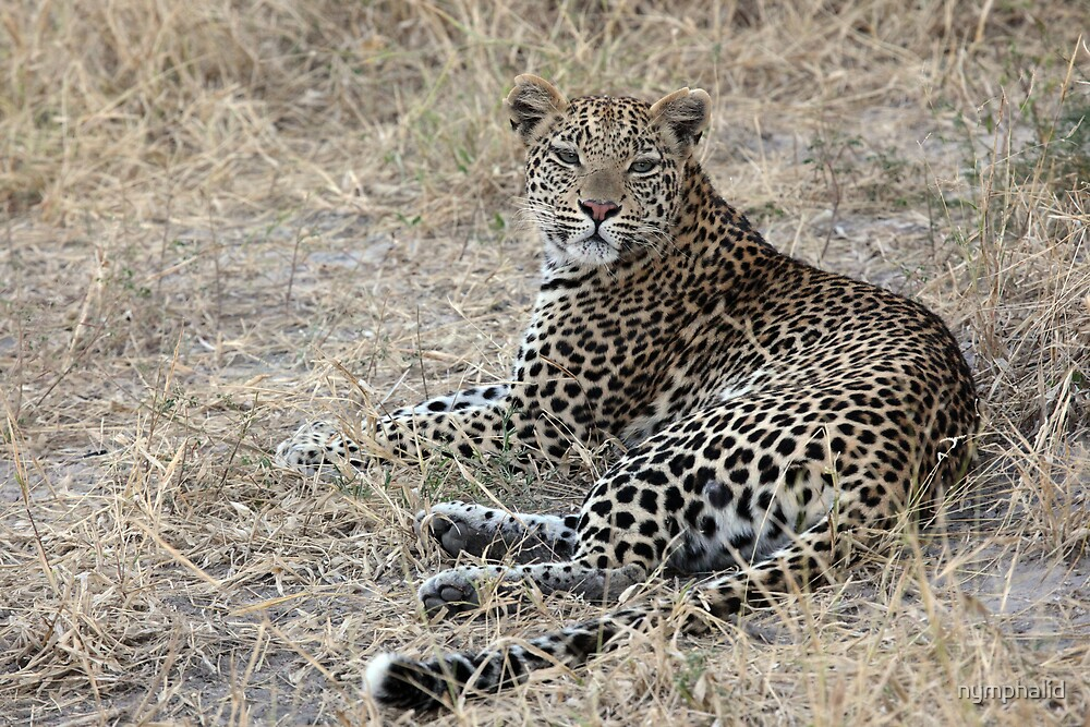 Female Leopard in the evening by nymphalid