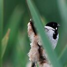 Reed Bunting by dougie1