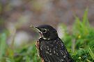Little Robin by Lynda   McDonald