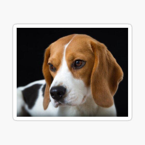 Beagle on the Black Sticker