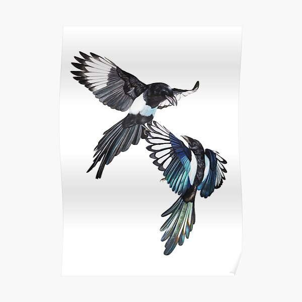 Flight Fight - Magpies in midair  Poster