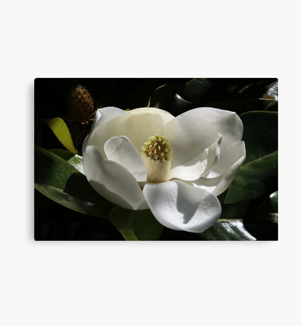 Studio Dalio - White Magnolia Flower Canvas Print