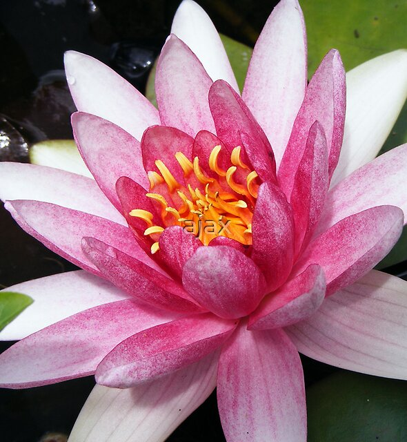 Water lily by ajax
