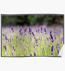 Lavender fields Poster