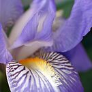 Soft Iris by Donna R. Cole