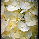 Hydrangea by Catherine Hadler