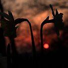 Sunset Daffodils by Martin Griffett