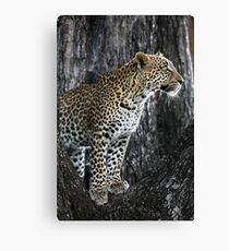 Leopard in a tree Canvas Print