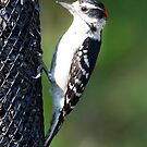 downy woodpecker by Dennis Cheeseman