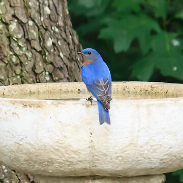 Mr Bluebird conteplating a bath by RoseC
