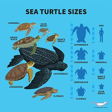 Sea Turtle Sizes by PepomintNarwhal