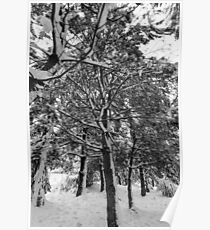 Close-up of pine leaves in snow.  Poster