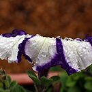 Wet Striped Petunia by Donna R. Cole