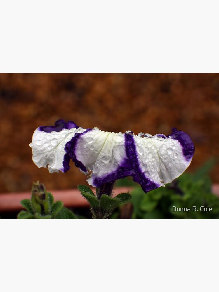 Wet Striped Petunia by alwaysdrc