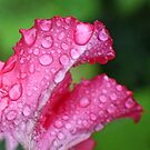 Wet Pink Petunia by Donna R. Cole