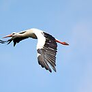 White stork ( Ciconia ciconia ) Bocian bialy by MarekM