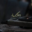 Praying Mantis by Elena Martinello