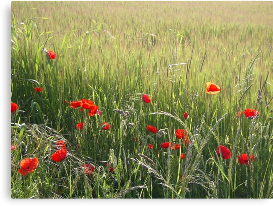 Poppies  by wigs