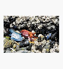 Crab Amidst Mussels  Photographic Print