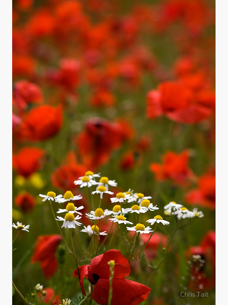 Poppies and Daises by christait