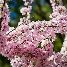 Blossoms in Spring by Scott  Cook©