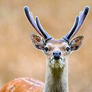 Sika Stag in Velvet by Dave  Knowles